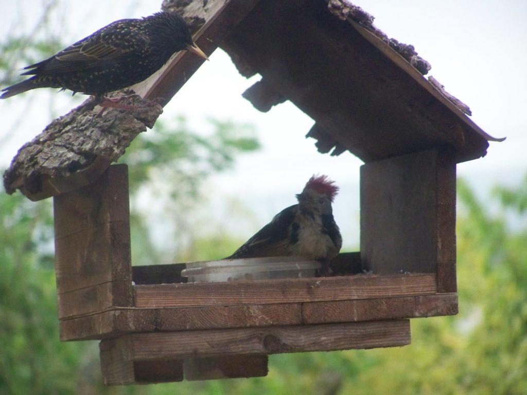 Specht im Vogelhaus